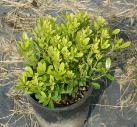 Pittosporum tobira nano